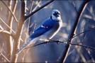 La technique de «l'oiseau bleu» pour attirer gratuitement et automatiquement des centaines de visiteurs chaque jour